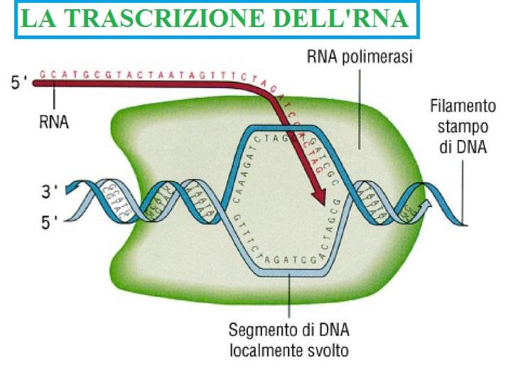 La trascrizione dell'RNA: il primo passo nell'espressione genica