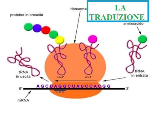 La traduzione: che fine fa l'RNA messaggero?