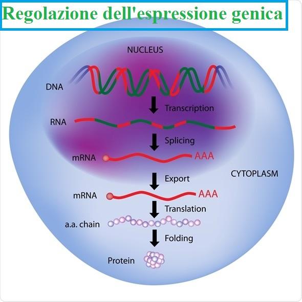 La regolazione dell'espressione genica: un processo finemente controllato.
